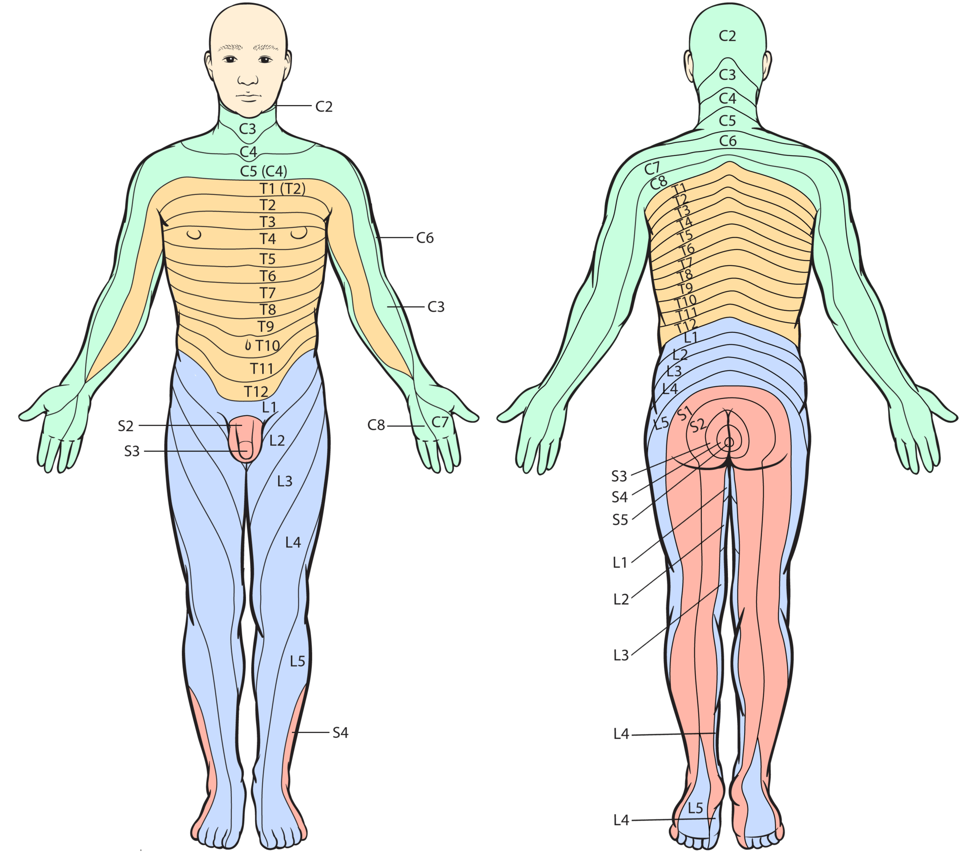 Plattegrond van de huidilijnen (dermatomen) bij de mens