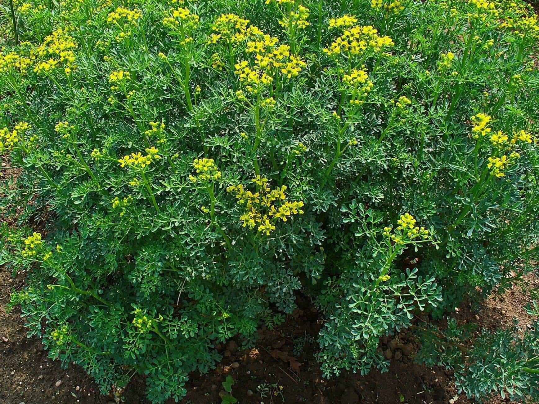 Allergie Planten Huid : Fytofotodermatitis huidarts.com